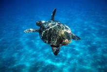 Caretta caretta Loggerhead turtle swimming in open sea.