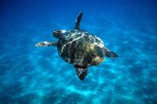 Caretta caretta Loggerhead turtle swimming in open sea.